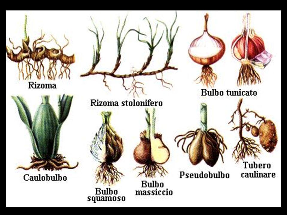 Floema:Transporta seiva elaborada de cima para baixo) Xilema (transporta seiva bruta de baixo para cima) (elementos de vaso)