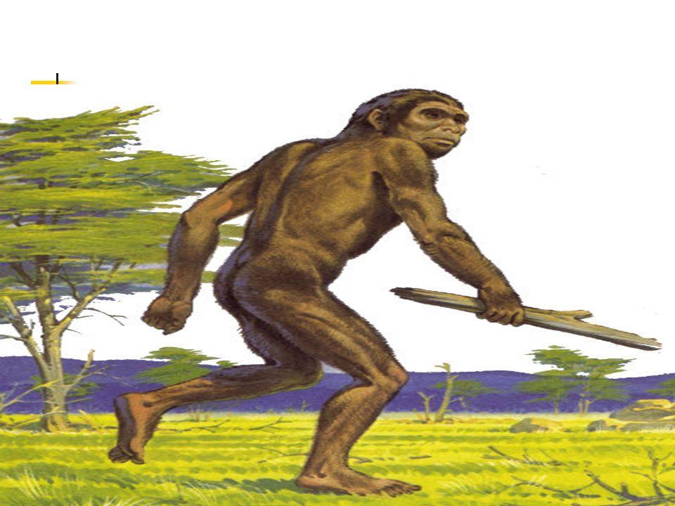 O Homo Erectus sabia utilizar alguns instrumentos feitos de pedra e era um hábil caçador.