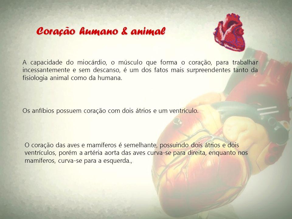 Coração humano & animal A capacidade do miocárdio, o músculo que forma o coração, para trabalhar incessantemente e sem descanso, é um dos fatos mais s