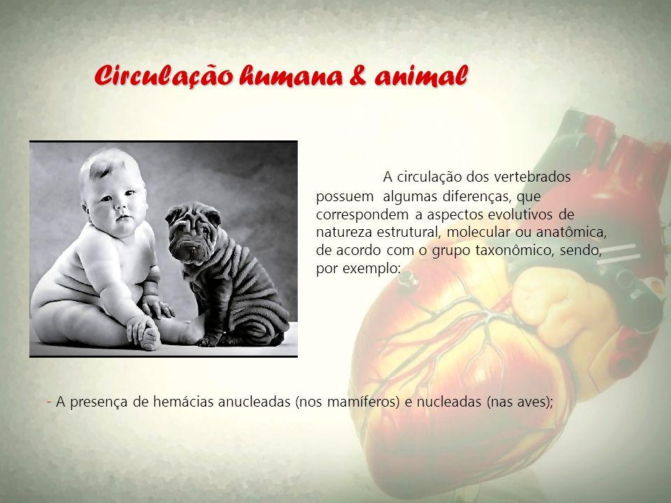 Circulação humana & animal A circulação dos vertebrados possuem algumas diferenças, que correspondem a aspectos evolutivos de natureza estrutural, mol
