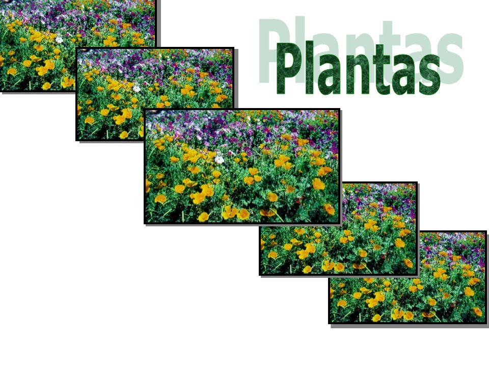 Relações filogenéticas Algas verdes (grupo externo) BriófitasPteridófitasGimnospermasAngiospermas Gametângios revestidos por células estéreis Embrião retido no gametângio feminino Vasos condutores de seiva Sementes e flores Frutos Espermatófitas (plantas que produzem sementes) Traqueófitas (plantas vasculares) Embriófitas