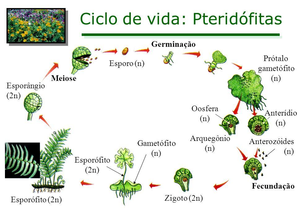 Ciclo de vida: Pteridófitas Esporângio (2n) Meiose Esporo (n) Germinação Prótalo gametófito (n) Arquegônio (n) Fecundação Zigoto (2n) Esporófito (2n)