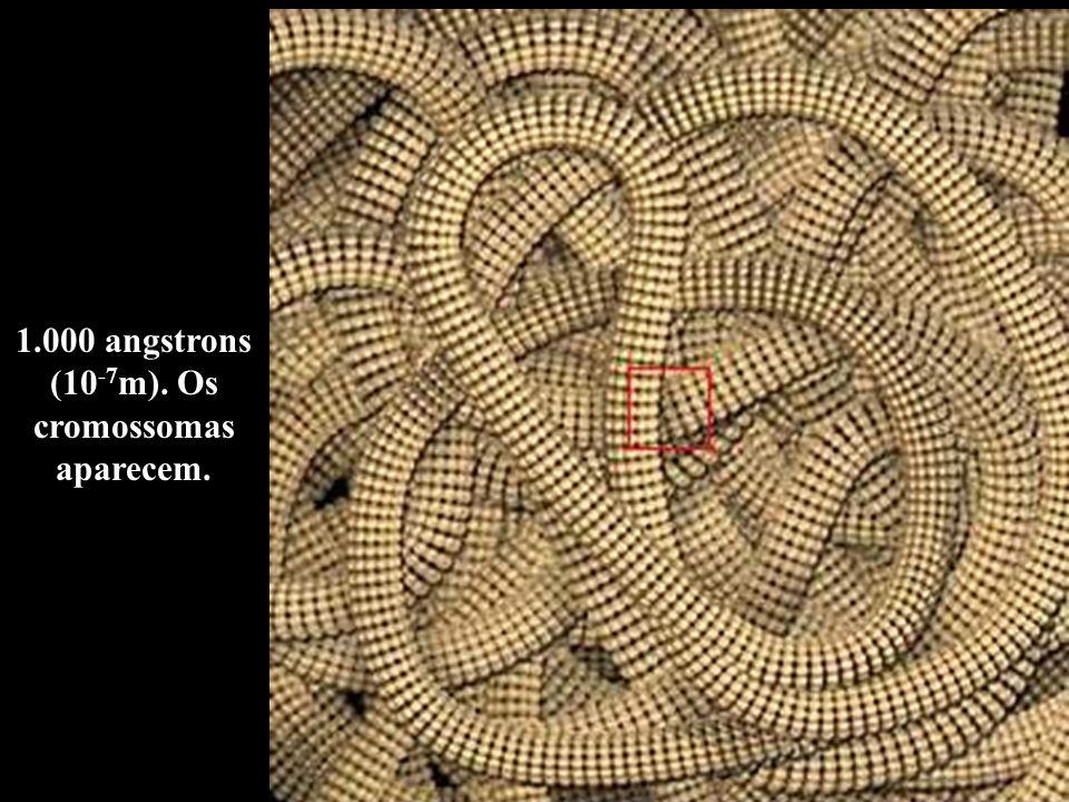 1.000 angstrons (10 -7 m). Os cromossomas aparecem.