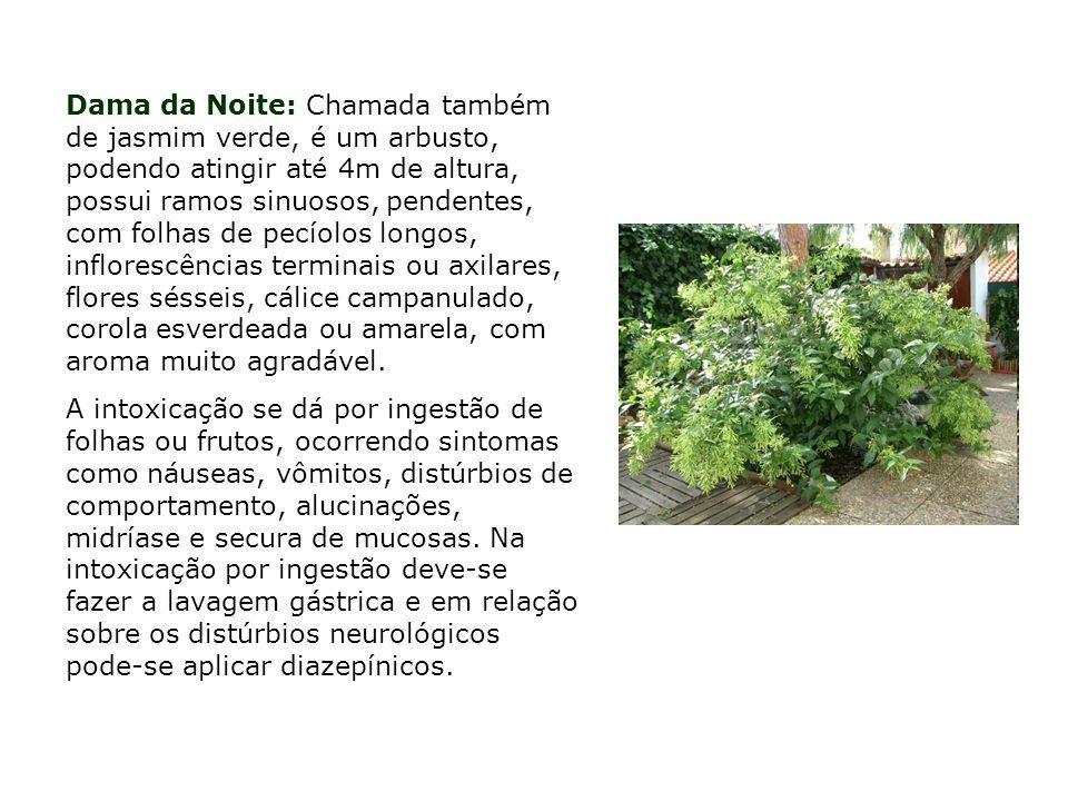 Dama da Noite: Chamada também de jasmim verde, é um arbusto, podendo atingir até 4m de altura, possui ramos sinuosos, pendentes, com folhas de pecíolo