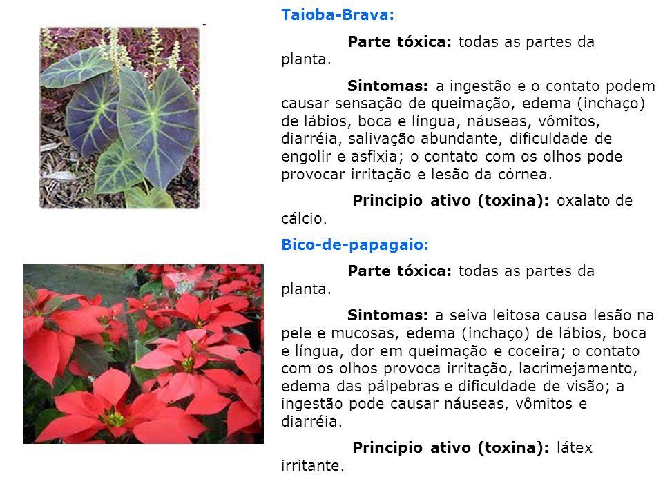Taioba-Brava: Parte tóxica: todas as partes da planta. Sintomas: a ingestão e o contato podem causar sensação de queimação, edema (inchaço) de lábios,