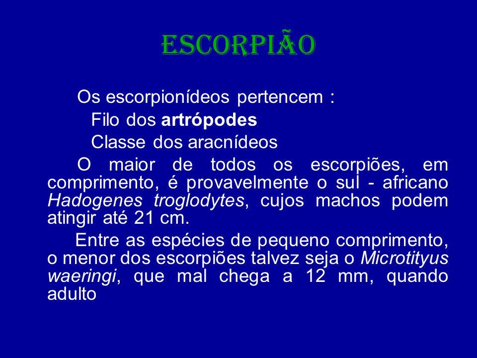 ESCORPIÃO Os escorpionídeos pertencem : Filo dos artrópodes Classe dos aracnídeos O maior de todos os escorpiões, em comprimento, é provavelmente o su