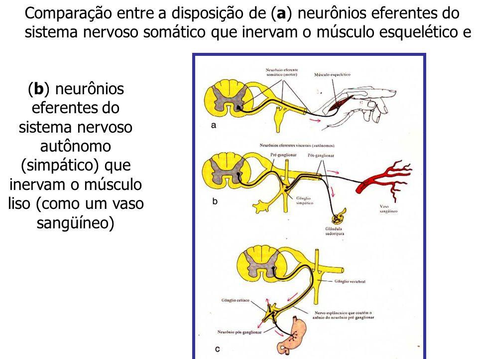 Comparação entre a disposição de (a) neurônios eferentes do sistema nervoso somático que inervam o músculo esquelético e (b) neurônios eferentes do si