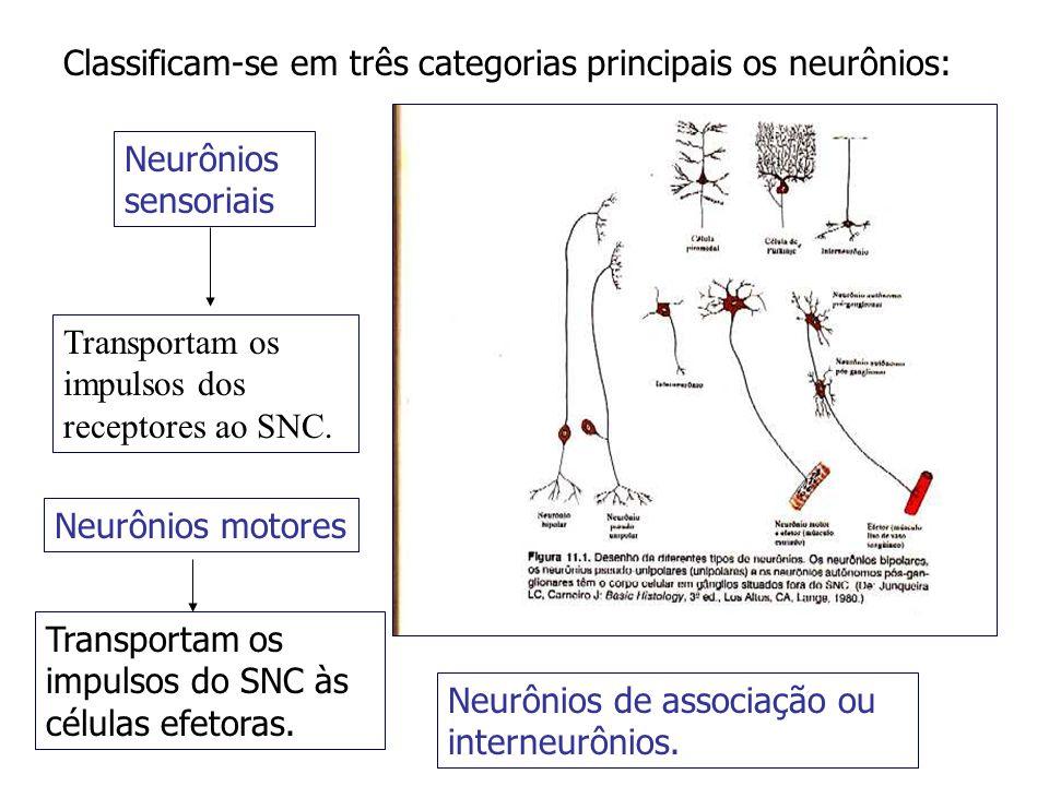 Classificam-se em três categorias principais os neurônios: Neurônios sensoriais Transportam os impulsos dos receptores ao SNC. Neurônios motores Trans