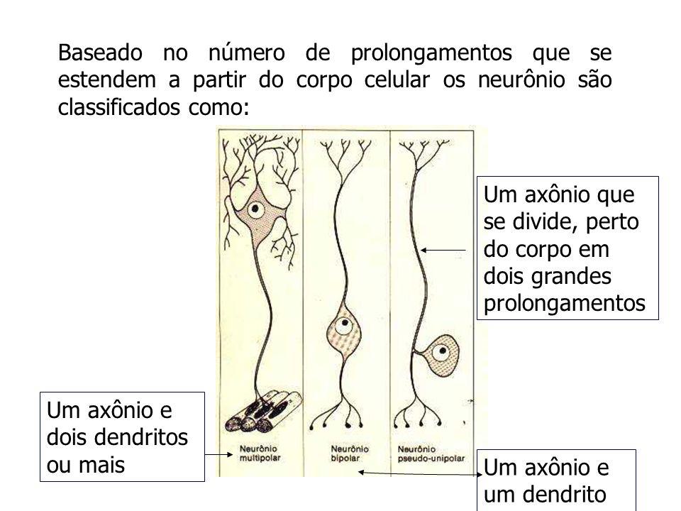 Baseado no número de prolongamentos que se estendem a partir do corpo celular os neurônio são classificados como: Um axônio e dois dendritos ou mais U