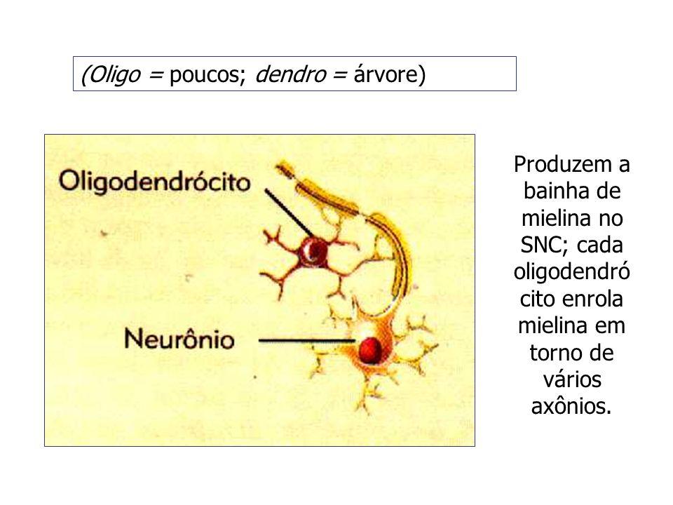 (Oligo = poucos; dendro = árvore) Produzem a bainha de mielina no SNC; cada oligodendró cito enrola mielina em torno de vários axônios.