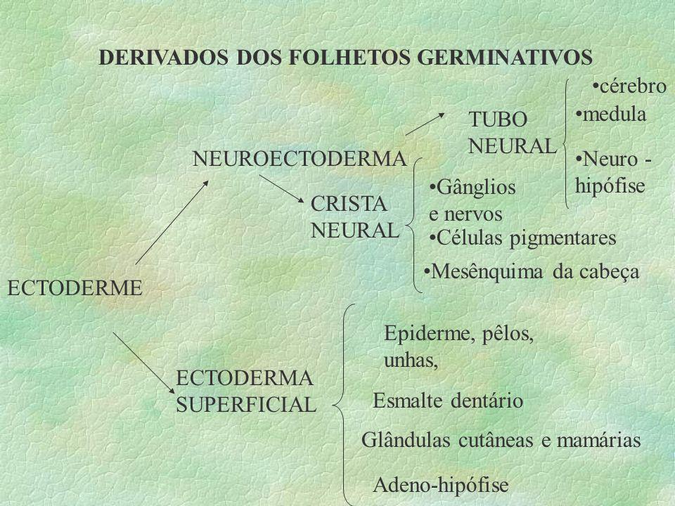 DERIVADOS DOS FOLHETOS GERMINATIVOS ECTODERME NEUROECTODERMA ECTODERMA SUPERFICIAL TUBO NEURAL CRISTA NEURAL cérebro medula Neuro - hipófise Gânglios
