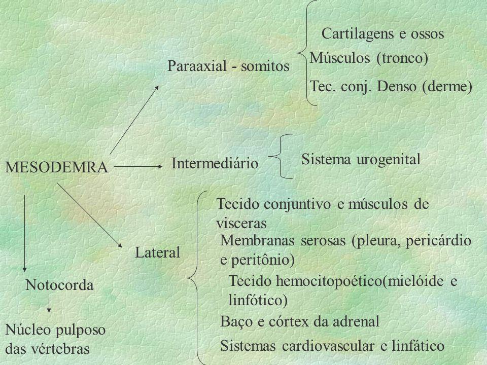 MESODEMRA Paraaxial - somitos Cartilagens e ossos Músculos (tronco) Tec. conj. Denso (derme) Intermediário Sistema urogenital Lateral Tecido conjuntiv