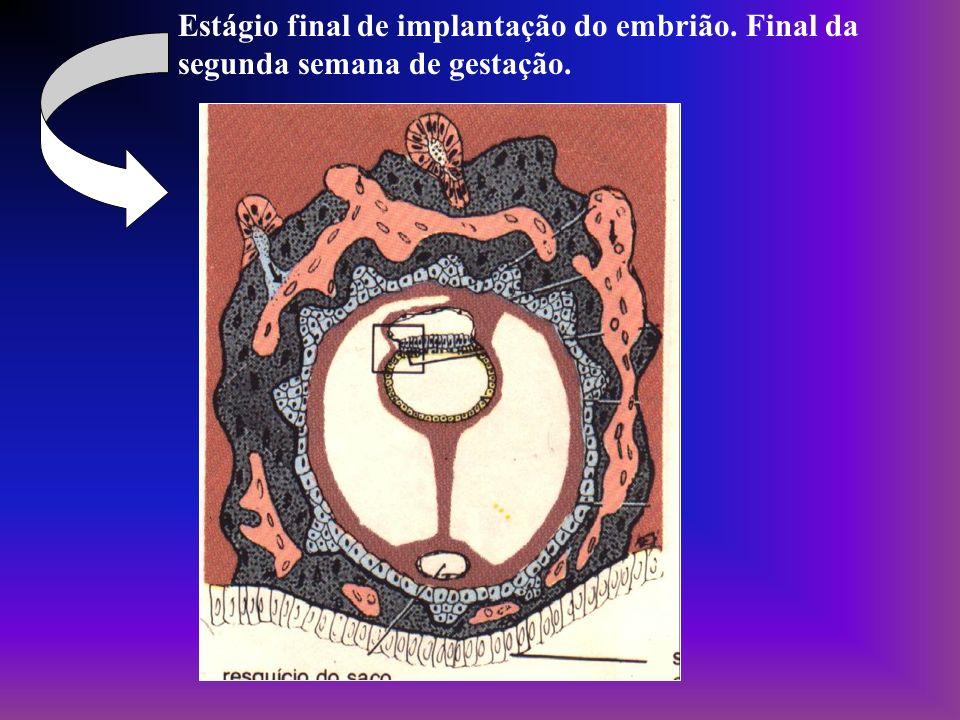 Estágio final de implantação do embrião. Final da segunda semana de gestação.