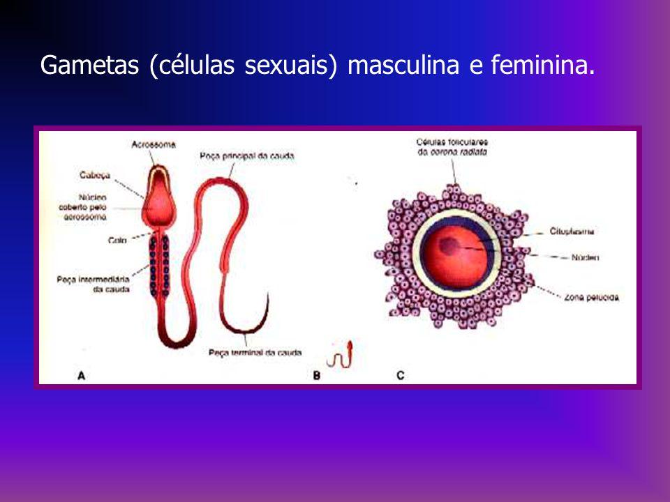 Gametas (células sexuais) masculina e feminina.