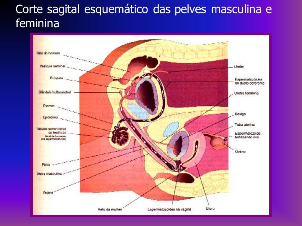 Corte sagital esquemático das pelves masculina e feminina