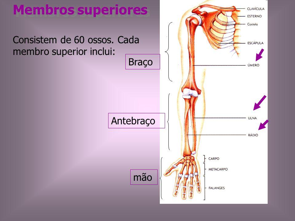 Membros superiores Consistem de 60 ossos. Cada membro superior inclui: Braço Antebraço mão