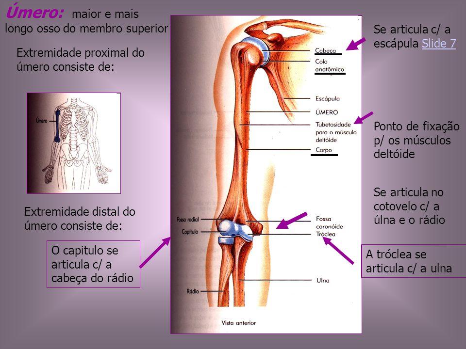 Úmero: maior e mais longo osso do membro superior Se articula c/ a escápula Slide 7Slide 7 Se articula no cotovelo c/ a úlna e o rádio Extremidade pro