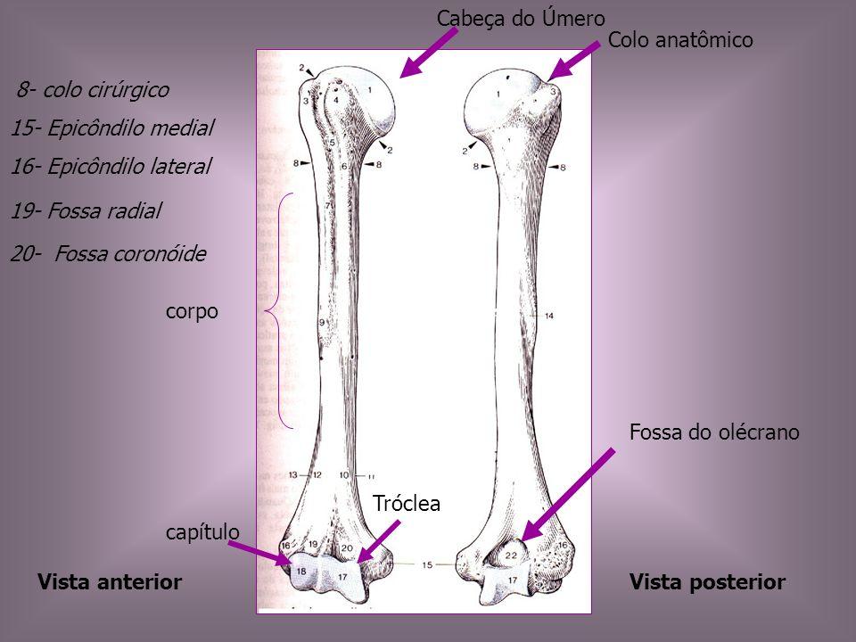 Vista anteriorVista posterior Fossa do olécrano Cabeça do Úmero Colo anatômico corpo capítulo Tróclea 20- Fossa coronóide 19- Fossa radial 8- colo cir