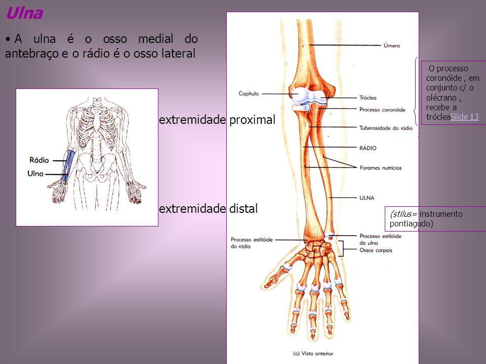 Ulna A ulna é o osso medial do antebraço e o rádio é o osso lateral O processo coronóide, em conjunto c/ o olécrano, recebe a trócleaSlide 13Slide 13