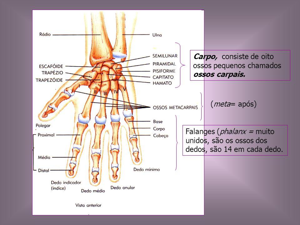 Carpo, consiste de oito ossos pequenos chamados ossos carpais. (meta= após) Falanges (phalanx = muito unidos, são os ossos dos dedos, são 14 em cada d