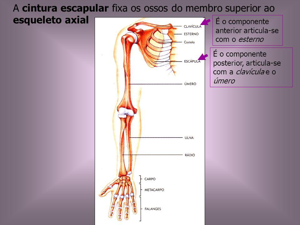 A cintura escapular fixa os ossos do membro superior ao esqueleto axial É o componente anterior articula-se com o esterno É o componente posterior, ar
