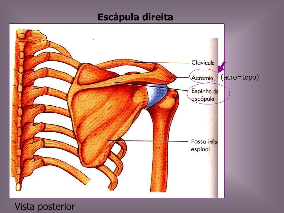 Escápula Ossos grandes, triangulares e planos, situados na parte posterior do tórax.