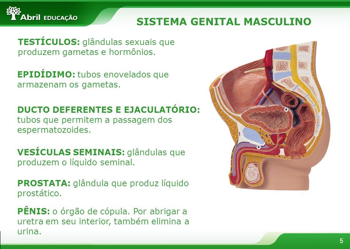 5 SISTEMA GENITAL MASCULINO TESTÍCULOS: glândulas sexuais que produzem gametas e hormônios.