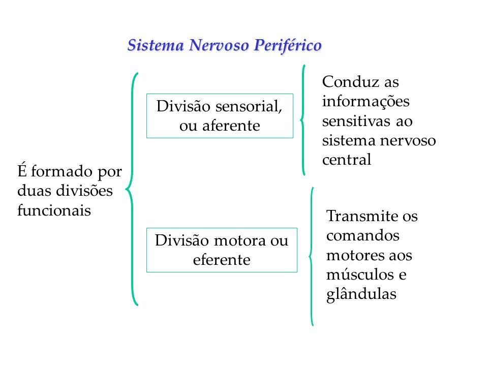 Sistema Nervoso Periférico É formado por duas divisões funcionais Divisão sensorial, ou aferente Divisão motora ou eferente Conduz as informações sens