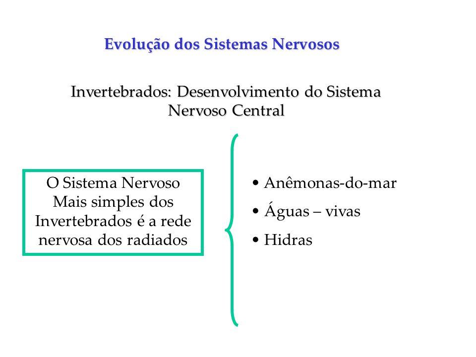 Evolução dos Sistemas Nervosos Invertebrados: Desenvolvimento do Sistema Nervoso Central O Sistema Nervoso Mais simples dos Invertebrados é a rede ner