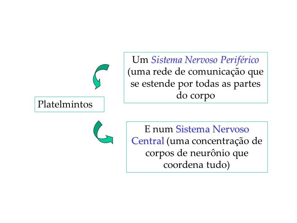 Platelmintos Sistema NervosoPeriférico Um Sistema Nervoso Periférico (uma rede de comunicação que se estende por todas as partes do corpo Sistema Nerv