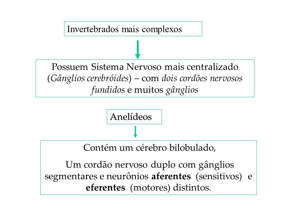 Possuem Sistema Nervoso mais centralizado (Gânglios cerebróides) – com dois cordões nervosos fundidos e muitos gânglios Invertebrados mais complexos A