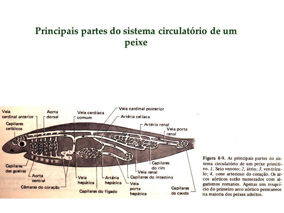 Principais partes do sistema circulatório de um peixe