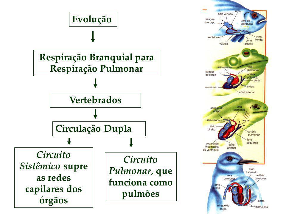 Respiração Branquial para Respiração Pulmonar Evolução Vertebrados Circulação Dupla Circuito Sistêmico supre as redes capilares dos órgãos Circuito Pu