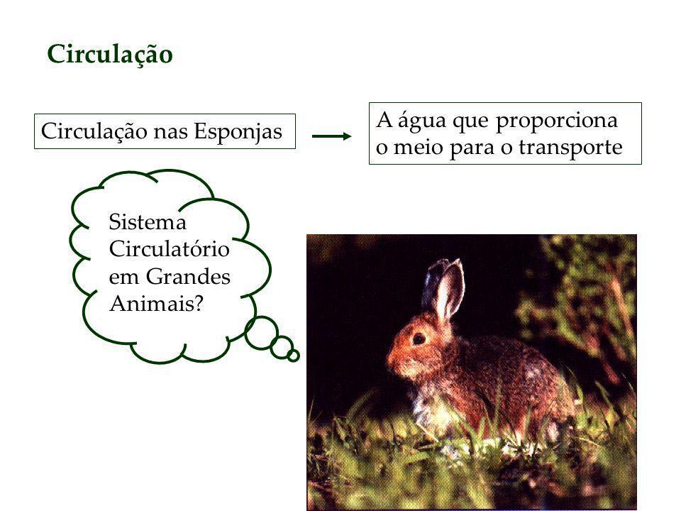 Circulação Circulação nas Esponjas A água que proporciona o meio para o transporte Sistema Circulatório em Grandes Animais?