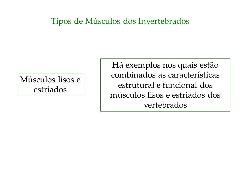 Tipos de Músculos dos Invertebrados Músculos lisos e estriados Há exemplos nos quais estão combinados as características estrutural e funcional dos mú