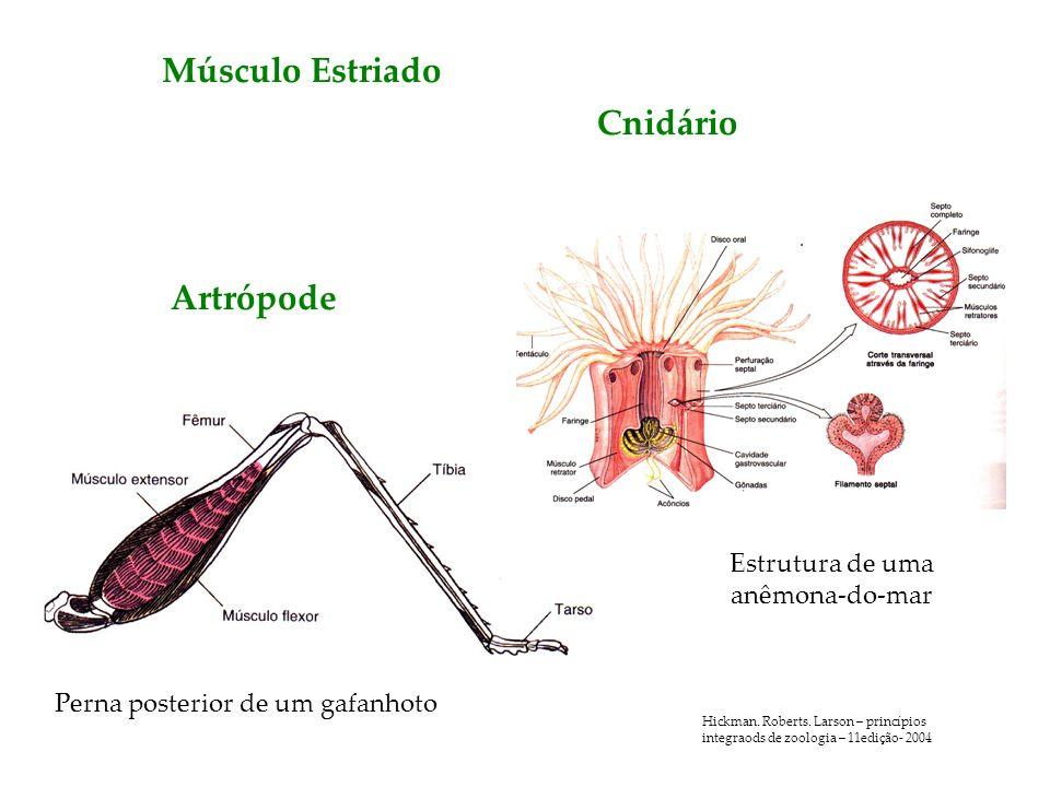 Músculo Estriado Perna posterior de um gafanhoto Artrópode Cnidário Estrutura de uma anêmona-do-mar Hickman. Roberts. Larson – princípios integraods d