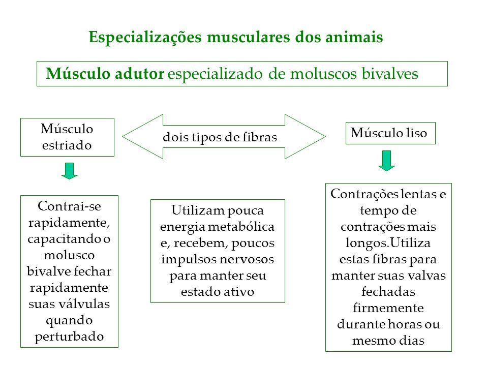 Especializações musculares dos animais Músculo adutor especializado de moluscos bivalves dois tipos de fibras Músculo estriado Contrai-se rapidamente,
