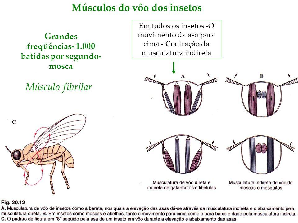 Músculos do vôo dos insetos Grandes freqüências- 1.000 batidas por segundo- mosca Em todos os insetos -O movimento da asa para cima - Contração da mus