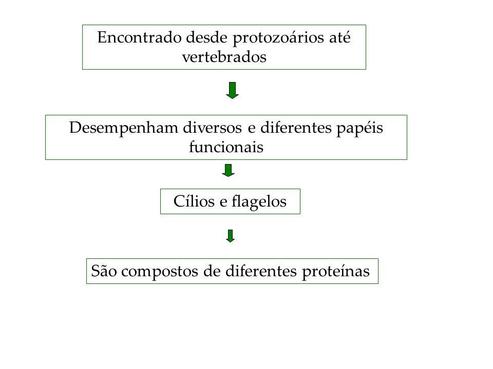Encontrado desde protozoários até vertebrados Desempenham diversos e diferentes papéis funcionais Cílios e flagelos São compostos de diferentes proteí