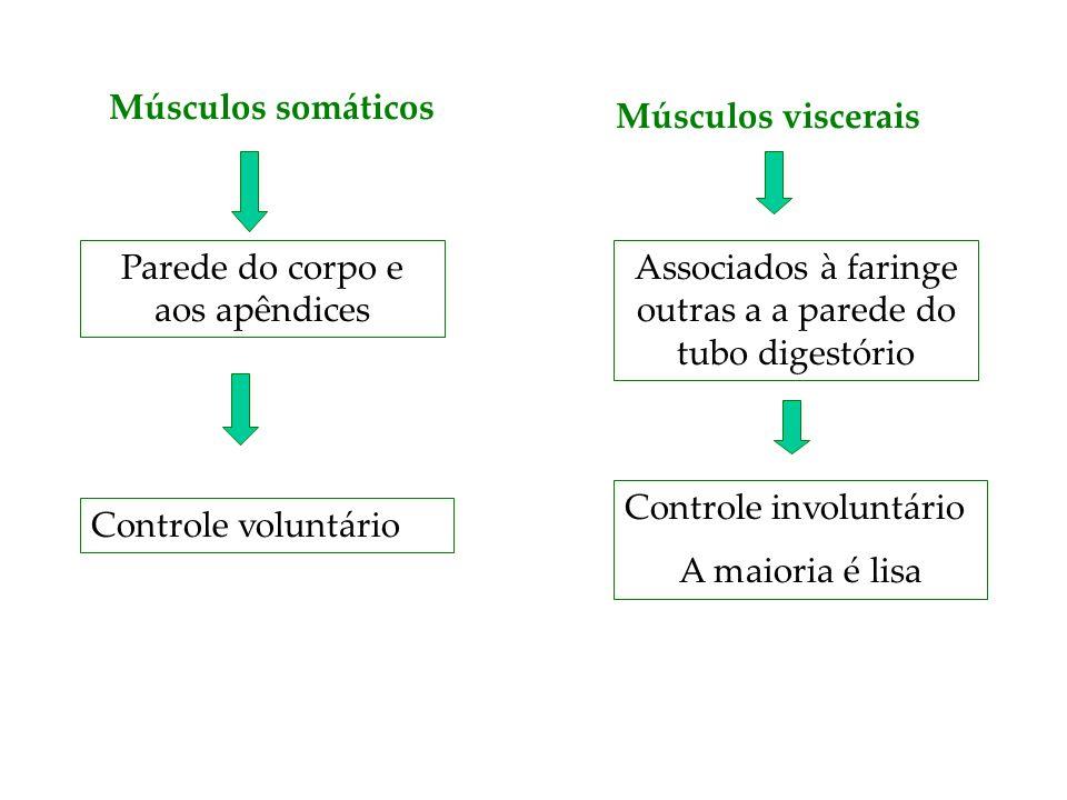 Músculos somáticos Parede do corpo e aos apêndices Músculos viscerais Associados à faringe outras a a parede do tubo digestório Controle voluntário Co