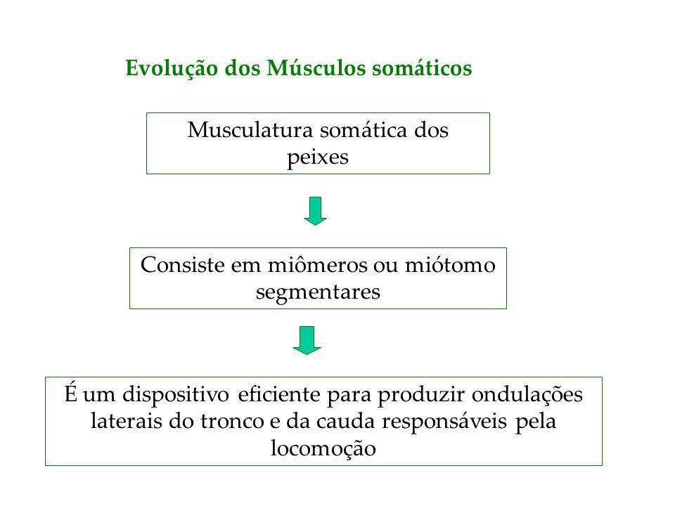 Evolução dos Músculos somáticos Musculatura somática dos peixes Consiste em miômeros ou miótomo segmentares É um dispositivo eficiente para produzir o