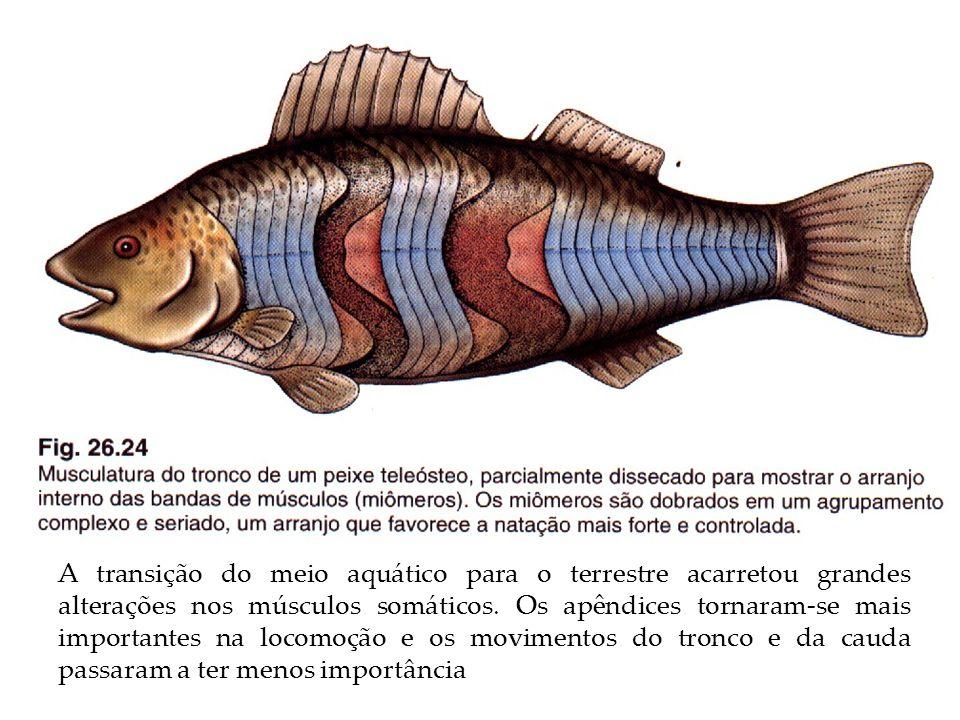 A transição do meio aquático para o terrestre acarretou grandes alterações nos músculos somáticos. Os apêndices tornaram-se mais importantes na locomo