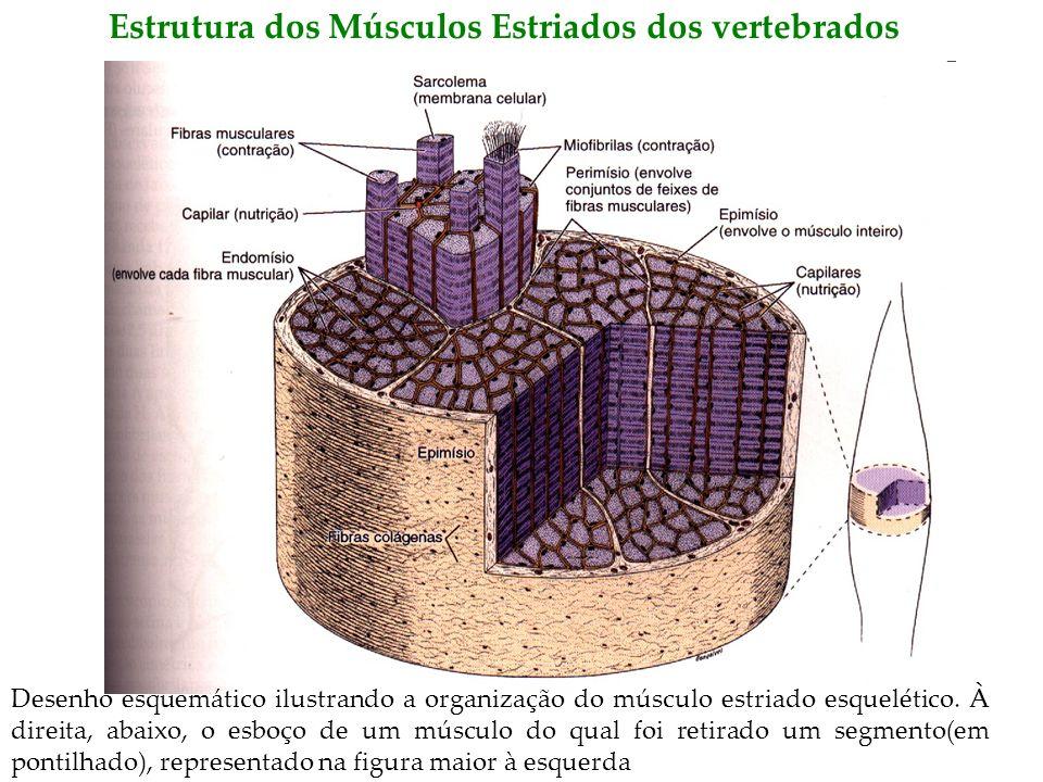 Estrutura dos Músculos Estriados dos vertebrados Desenho esquemático ilustrando a organização do músculo estriado esquelético. À direita, abaixo, o es
