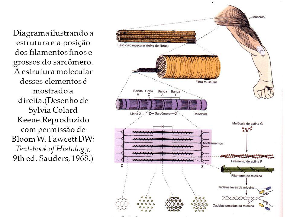 Diagrama ilustrando a estrutura e a posição dos filamentos finos e grossos do sarcômero. A estrutura molecular desses elementos é mostrado à direita.(