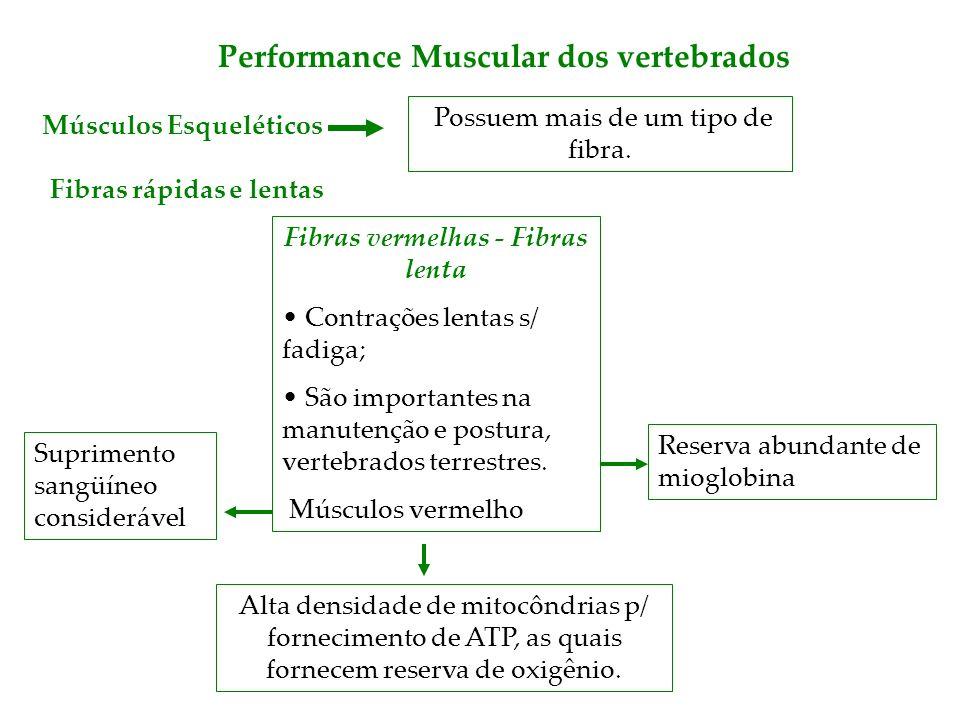 Performance Muscular dos vertebrados Fibras rápidas e lentas Possuem mais de um tipo de fibra. Músculos Esqueléticos Fibras vermelhas - Fibras lenta C