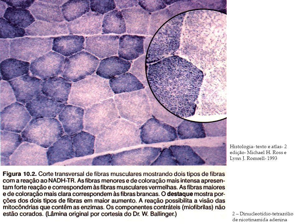 2 – Dinucleotídio-tetrazólio de nicotinamida adenina Histologia- texto e atlas- 2 edição- Michael H. Ross e Lynn J. Romrell- 1993