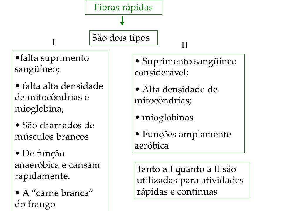 Fibras rápidas São dois tipos falta suprimento sangüíneo; falta alta densidade de mitocôndrias e mioglobina; São chamados de músculos brancos De funçã