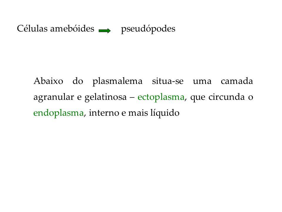 Células amebóides pseudópodes Abaixo do plasmalema situa-se uma camada agranular e gelatinosa – ectoplasma, que circunda o endoplasma, interno e mais