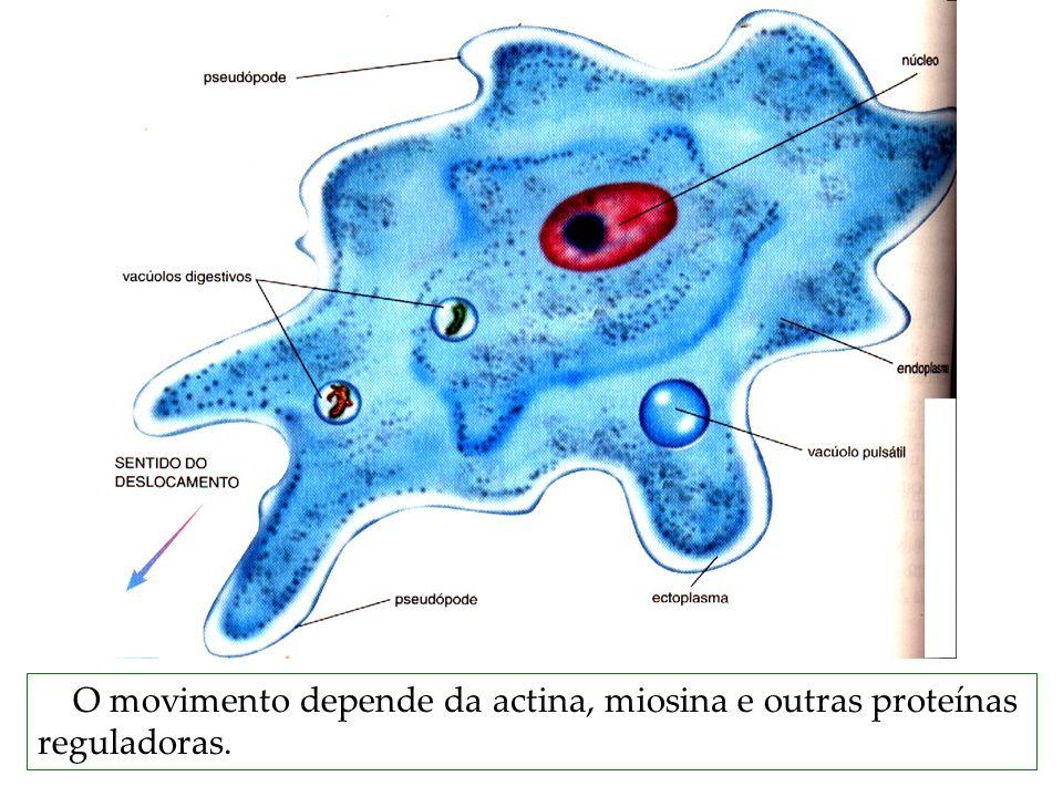 O movimento depende da actina, miosina e outras proteínas reguladoras.