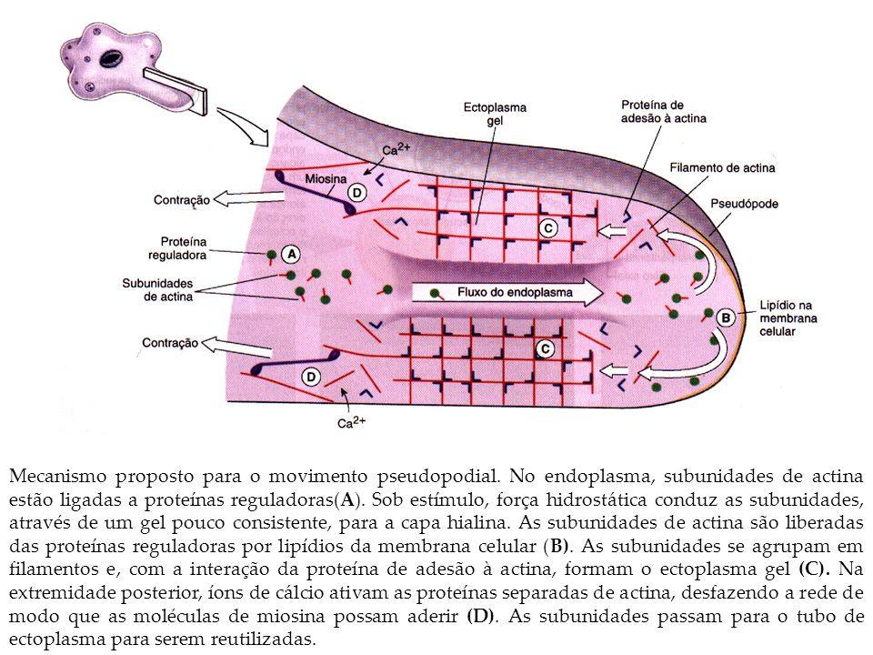 Mecanismo proposto para o movimento pseudopodial. No endoplasma, subunidades de actina estão ligadas a proteínas reguladoras(A). Sob estímulo, força h